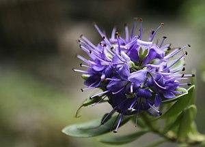 Hebe Flower