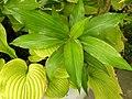 Hedychium 'Dr. Moy' Leaf Cluster 3264px.jpg