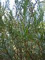 Heimia salicifolia 2c.JPG