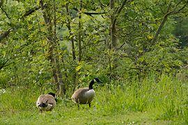 Heisinger Ruhraue Canada goose.jpg