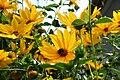 Heliopsis helianthoides 'Summer Nights'.jpg