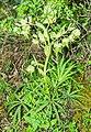 Helleborus foetidus in Lozere (4).jpg