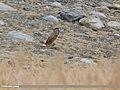 Hen Harrier (Circus cyaneus) (46134134285).jpg