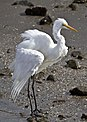 Henry the Great Egret at Dawn Shorncliffe-2 (7077889031).jpg