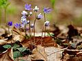 Hepatica nobilis (1).jpg