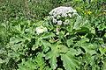 Heracleum sphondylium Hogweed დიყი.JPG