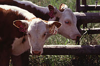 Twin calves of the Hereford breed.