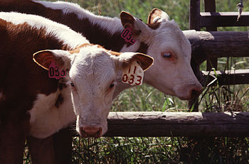 Hereford twins from http://www.ars.usda.gov/is...