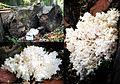 Hericium coralloides (GB= Coral Tooth Fungus, D= Tannenstachelbart, Syn. Bartkoralle, F= Hydne en corail, NL= Kammetjesstekelzwam) at Westerheide Schaarsbergen. This mushroom is rare in Holland - panoramio.jpg