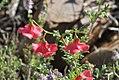 Hermannia grandiflora (Malvaceae) (4761620300).jpg