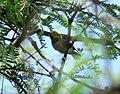 Hermit Warbler, De Anza Trail, Tumacacori, AZ, May 10, 2008 (6709303743).jpg