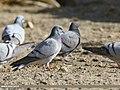 Hill Pigeon (Columba rupestris) (39637548201).jpg