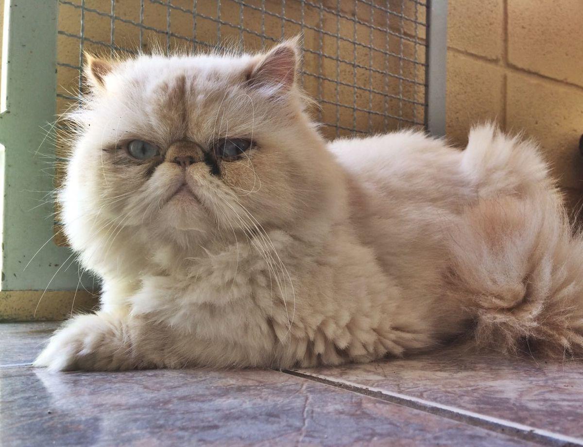Himalaio (gato) - Wikipédia, a enciclopédia livre
