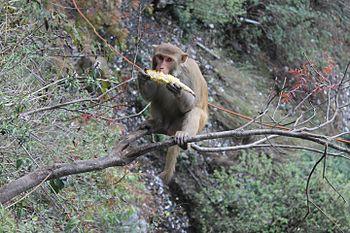 Himalayan Monkey.jpg