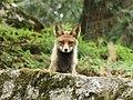 Himalayan Red Fox.jpg