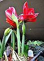 Hippeastrum aulicum Lily of the Palace ჰიპეასტრუმი.JPG