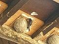 Hirondelle de fenêtre (Delichon urbicum) (3).jpg