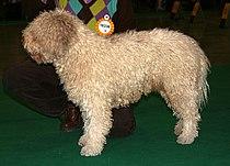 Hiszpański pies wodny 333.jpg