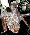 Hoary bat Lasiurus cinereus (cropped).jpg