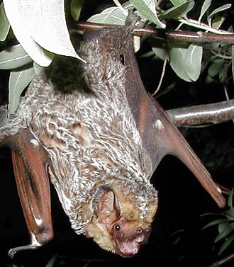Hoary bat - Image: Hoary bat Lasiurus cinereus (cropped)