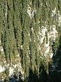Hogy tudnak itt megmaradni ezek a fenyők- Csodavár oldala - panoramio.jpg