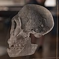 Homo erectus skull Wien 18.07.19 JM.jpg