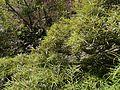 Homonoia riparia (8502438673).jpg