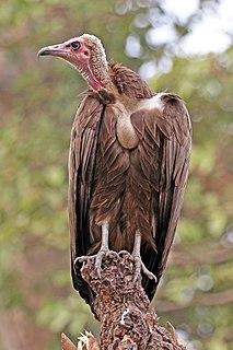 Hooded vulture species of bird