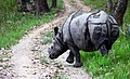 Hornless one horned rhino.JPG