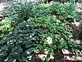 Hostas and ferns (28522852590).jpg