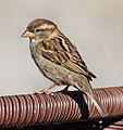 House-Sparrow4.jpg