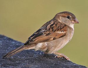 House sparrow - Plumage of female house sparrow