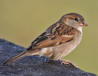House sparrow - Detail of the wing of a male (left); a female (right)