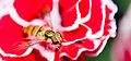 Hover fly on carnation.jpg