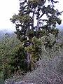 Huge Pinus canariensis.jpg