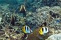 Humphead bannerfish Heniochus varius and doublebarred butterflyfish Chaetodon ulietensis (7570824792).jpg