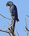 Hyacinth Macaw (Anodorhynchus hyacinthinus) (31676594802).jpg