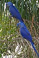 Hyacinth Macaws (Anodorhynchus hyacinthinus) (28270796214).jpg