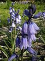 Hyacinthoides hispanica 2c.JPG