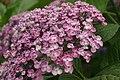 Hydrangea macrophylla Ayesha 3zz.jpg