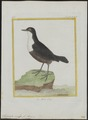 Hydrobata cinclus - 1700-1880 - Print - Iconographia Zoologica - Special Collections University of Amsterdam - UBA01 IZ16300385.tif