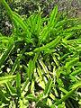 Hylocereus undatus Madagascar-01.jpg