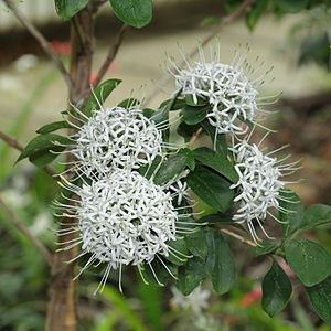 Pavetta - Pavetta capensis