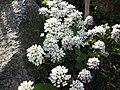 Iberis saxatilis L ssp saxatilis 01HD.jpg