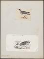 Ibidorhyncha struthersii - 1700-1880 - Print - Iconographia Zoologica - Special Collections University of Amsterdam - UBA01 IZ17400039.tif