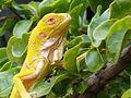 Iguana Amarilla.jpg