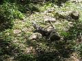 Iguana a Uxmal.JPG