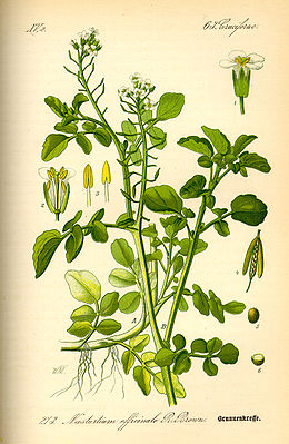 Echte Brunnenkresse (Nasturtium officinale), Illustration