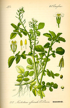 Description de l'image Illustration Nasturtium officinale0.jpg.