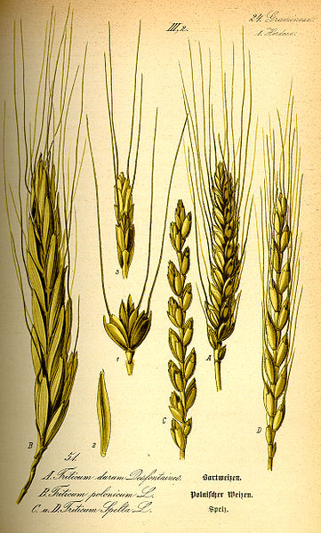Archivo:Illustration Triticum spelta0.jpg